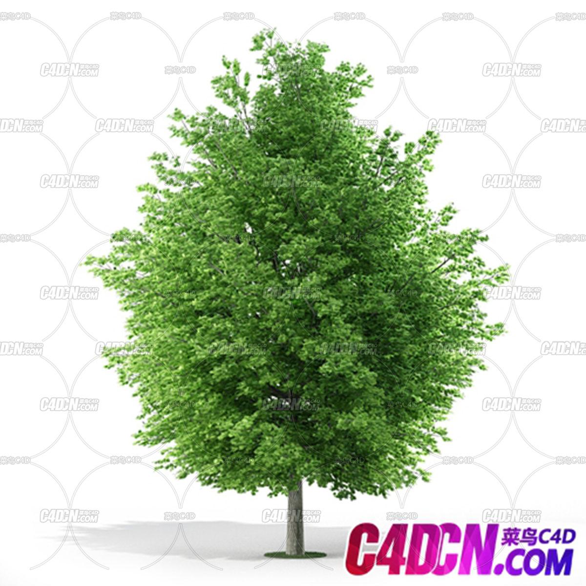 C4D模型 阔叶树木植物模型 C4D model broadleaf tree plant model