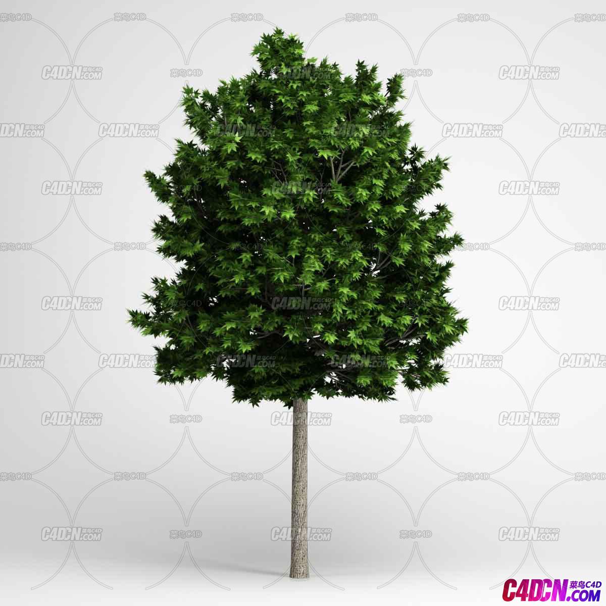 高冠绿色枫树枫叶植物大树C4D模型