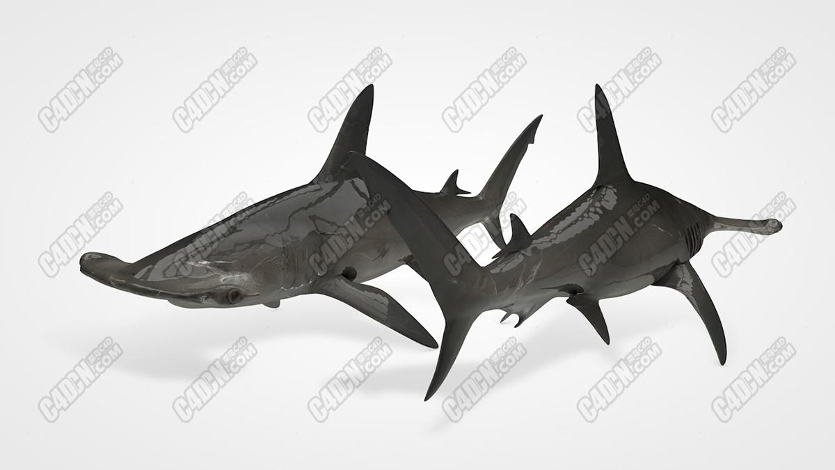 C4D锤头鲨鱼海洋生物C4D模型素材 Hammerhead Shark
