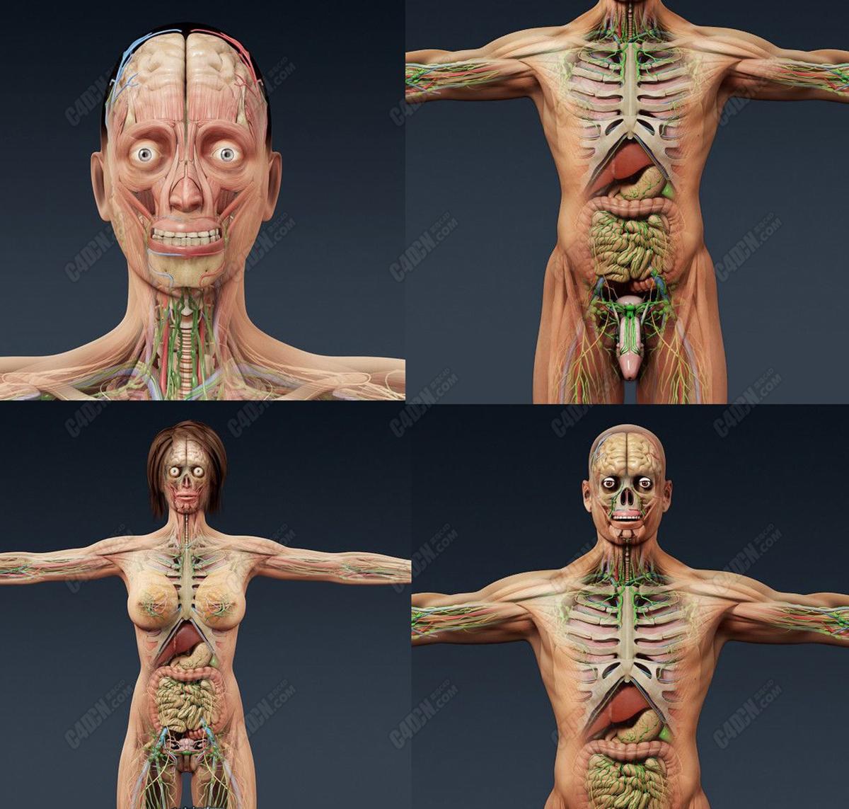 C4D人类医学组织解剖人体模型[包含男性和女性]