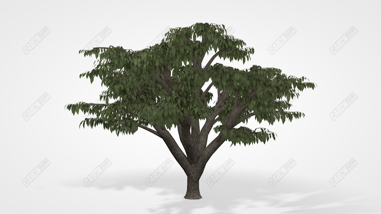 C4D黎巴嫩雪松树模型 Lebanon Cedar tree c4d Model