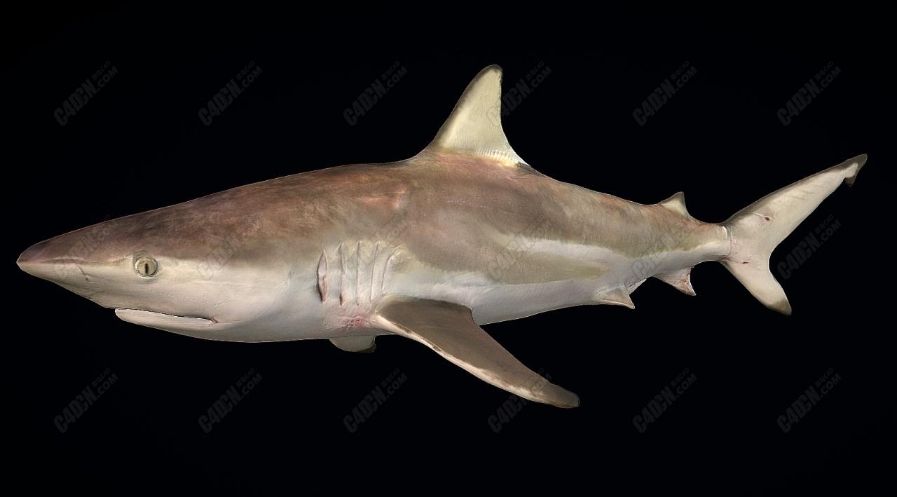 C4D黑鳍鲨鱼模型(包含骨骼绑定和游泳动画)