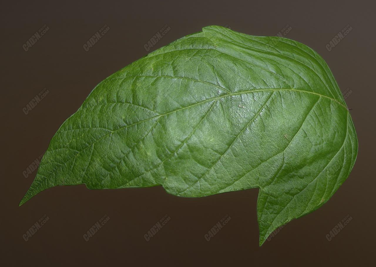 C4D模型-一片肥硕的树叶子