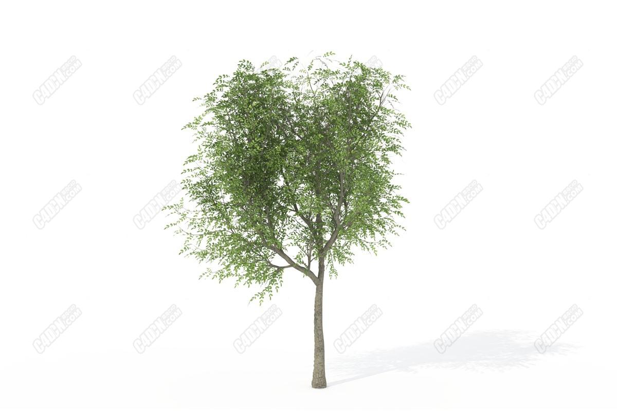 C4D日本核桃樹模型