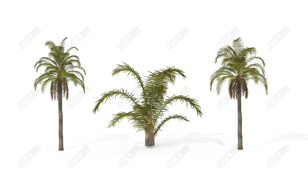 3个大小皇后棕榈树C4D模型