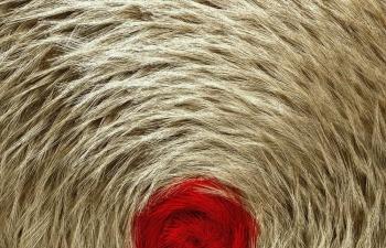 Octane渲染器金色动物皮毛毛发C4D工程