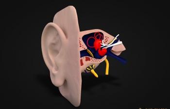 医用耳蜗结构模型