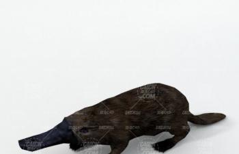 C4D模型 鴨嘴獸動物模型 Platypus animal C4D model