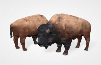 野牛野生动物C4D模型 Bison C4D Model