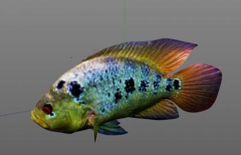 彩虹丽鱼科鱼C4D模型 rainbow_cichlid