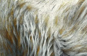 Octane渲染器写实动物毛发皮毛C4D模型