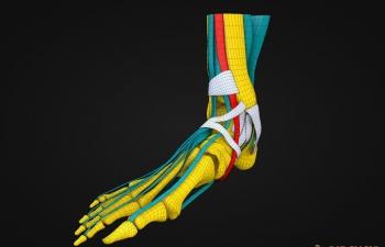 医用脚部结构模型