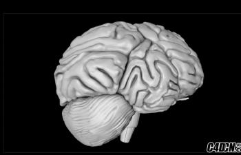 人大脑,脑子模型