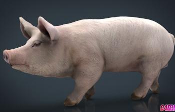 C4D模型 写实白毛猪家畜动物3D模型 Pig