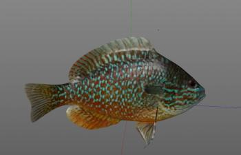 长寿太阳鱼C4D模型 longear_sunfish